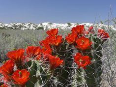 White Sands National Monument, Cacti And Succulents, Cactus, Mexico, Plants, Paintings, Flowers, Plant, Planets