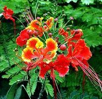 CAESALPINIA PULCHERIMMA - Red Bird of Paradise