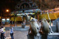Malpy mieszkające w świątyni Batu Caves