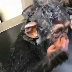 Limbani's first attempt at a solo bath with tearless baby shampoo 🐵🚿💦 - andere süße Tiere - Cute Funny Animals, Cute Baby Animals, Funny Cute, Animals For Kids, Animals And Pets, Animal Antics, Cute Monkey, Cute Animal Videos, Pet Birds