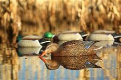How to set duck decoys