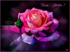 роза-1