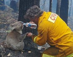 Rescuer giving water to a frightened koala during a forest fire. KINDNESS AND TENDERNESS
