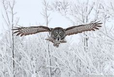 Great Gray Owl by Nick Saunders