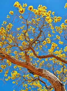 Ipê Amarelo (Tabebuia sp.)