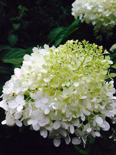 Hydrangea Limelight ; Gardenista