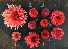 """Penhill Watermelon"" ""Snoho Doris"" ""Jowey Winnie"" ""American Dawn"" ""Linda's Baby"" ""Robinhood"" ""Sonic Bloom"" ""Chimicum Nadja"" ""Flip-Flop"" ""Totally Tangerine"" from Triple Wren Farms. Dahlia Bouquet, Dried Flower Bouquet, Dahlia Flower, Dried Flowers, Sonic Bloom, Flower Chart, Growing Dahlias, Flower Farmer, Garden Landscape Design"