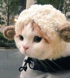 Beautiful Baby CatSheep!!! It's so Cute!! LOVE Cats SLVH ♥♥♥