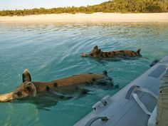swimming pigs on Bahamas