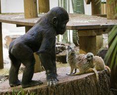 Baby gorilla meets meerkat mom and baby