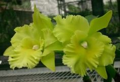 Orchid BLC Waianae Leopard Ching Hua Image | Blc Ports Of Paradise /'Green Ching Hua/' Pictures, Images & Photos ...