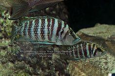 Altolamprologus calvus 'Black Congo Kapampa'. (Tanganyika Cichlid). www.tanganyika-cichlids.es/foro