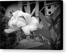 "DESCRIPTION Plumerias In Black And White canvas print by Kay Novy.   Bring your artwork to life with the texture and depth of a stretched canvas print. Your image gets printed onto one of our premium canvases and then stretched on a wooden frame of 1.5"" x 1.5"" stretcher bars (gallery wrap) or 5/8"" x 5/8"" stretcher bars (museum wrap).  #plumeria #flowers #flora #tropical #white #non-color #nature #beautiful #photography #KayNovy #kkphoto1"