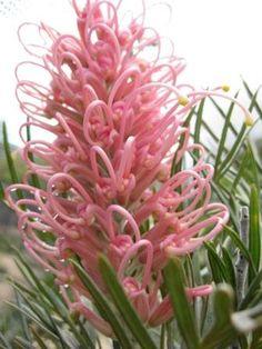 Grevillea 'Casitas Pink' •