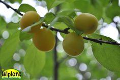 Prunus 'Padorak St Petersburgh', Ryskt körsbärsplommon. Mognar i slutet av aug. Klargult plommon. Zon IV