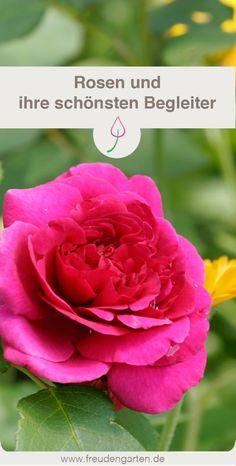 Pflanzen und Blumen, die zu Rosen passen und ein harmonisches Blumenbeet ergeben. #Garten #garden #Rosen #rose #plant #Pflanzen