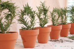 A line of six rosemary topiaries in terra-cotta pots