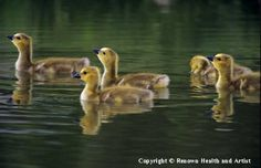 """Proudly displayed in Renown Children's Hospital, """"Goslings"""" is a popular photo by award-winning wildlife photographer Phil DeManczuk."""