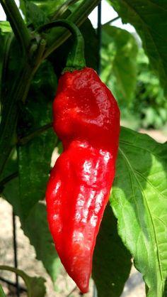 Bhut Jolokia Pepper Seeds 10 Fresh 2012 Seed