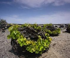 """Assyrtico vines on the Greek Island of Santorini,  in the southern Aegean Sea, 70 miles (113km) north of Crete. These """"basket"""" vines can be seen in vineyards all over the island."""