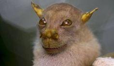 El Murcielago Yoda es uno de los roedores más extraños de todos y por ello se merece ir a nuestra lista de animales raros, curioseala en nuestro blog.