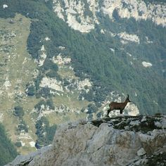 A chamois standing against an amazing backdrop of natural landscapes on Monte Amaro . Thanks to Ludovico De Donno Little Italy, Backdrops, Landscapes, Natural, Amazing, Places, Animals, Instagram, Mountain