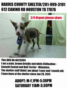 2/5- EXTENSION TO 7TH, SHARE! 2/4- Extension is up tomorrow for the little guy, about a yr so full grown. Believed to be a Chihuahua mix & Mini Bull Terrier. Available for rescue or adoption no later than 5:30pm 2/5/15. ID#A423694 Male, brown brindle & white Chihuahua - Smooth Coated & Bull Terrier - Miniature about 1 year and 1 month old.  https://www.facebook.com/Care2AdoptAnimalsHouston/photos/pb.510592262287578.-2207520000.1423270635./1006160519397414/?type=3&theater