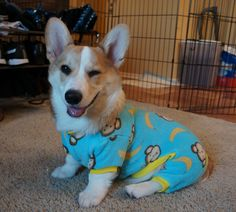 Corgie in Monkey Jammies