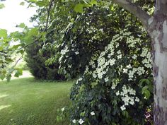 The beautiful Kousa Dogwood in flower