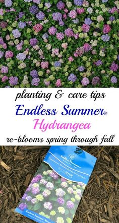 Plant Endless Summer Hydrangeas - this showstopper re-blooms spring through fall and it's a garden showstopper! How to Plant Endless Summer Hydrangeas - this showstopper re-blooms spring through fall and it's a garden showstopper! When To Prune Hydrangeas, Types Of Hydrangeas, Pruning Hydrangeas, Hortensia Hydrangea, Hydrangea Care, Hydrangea Plant, Hydrangea Winter Care, Limelight Hydrangea, Shade Garden