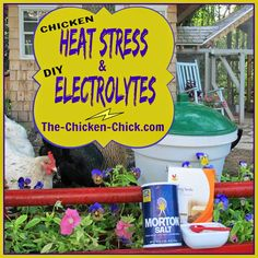 How to identify and treat heat stress and dehydration in chickens with a DIY electrolyte recipe.