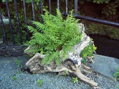 Hollow logs and plant ferns on the edge of the backyard woods, to replace the irises. Ferns, old log, perfection Garden Planters, Garden Art, Garden Design, Back Gardens, Outdoor Gardens, Patio, Backyard, Storybook Gardens, Woodland Garden