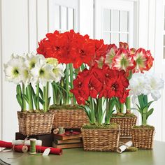 Just 1 of these Amaryllis gifts will be greeted with delight, but send all 5 together, and they will never be forgotten!