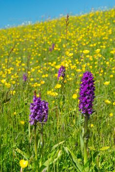 Realistic Graphic DOWNLOAD (.ai, .psd) :: http://jquery-css.de/pinterest-itmid-1007043034i.html ... Purple wild Orchid ...  Dactylorhiza majalis, blooming, blue, butter cups, buttercups, dike, dutch, dyke, floral, holland, island, majalis, nature, netherlands, orchid, purple, sky, texel, wadden, wild  ... Realistic Photo Graphic Print Obejct Business Web Elements Illustration Design Templates ... DOWNLOAD :: http://jquery-css.de/pinterest-itmid-1007043034i.html