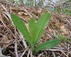 Πετρομάρουλο (Lactuca serriola)