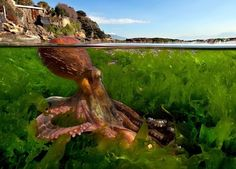 An octopus, in need of sunscreen – Boing Boing