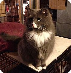 URGENT! Greensboro, NC - Domestic Mediumhair. Meet Bailey, a cat for adoption. Domestic Mediumhair Color: Gray Or Blue (Mostly) Age: Adult Sex: Female ID#: 4614823 Hair: Medium Act quickly to adopt Bailey. Pets at this rescue group may be held for only a short time. http://www.adoptapet.com/pet/7275857-greensboro-north-carolina-cat
