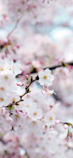 nx70-cherry-blossom-flower-spring-tree-bokeh-nature via http://iPhoneXpapers.com - Wallpapers for iPhone X