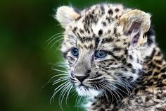One of two North Chinese Leopard cubs sits on a tree as they were presented for the first time to public at the Tierpark Zoo in Berlin, Friday, Oct. 5, 2012. The North Chinese Leopard twins were born on Aug. 4, 2012. (AP Photo) #animals #cute