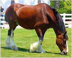 Anheuser-Busch Clydesdale Mare Grazing at Sea World in San Diego, California All The Pretty Horses, Beautiful Horses, Animals Beautiful, Cute Animals, Simply Beautiful, Absolutely Gorgeous, Big Horses, Horse Love, Work Horses
