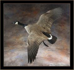 Canada Goose Mounts | 34
