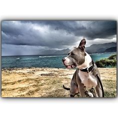 Gorgeous!!! My female pit looks JUST like this!