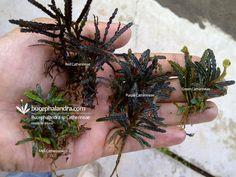 Bucephalandra Catherineae Species