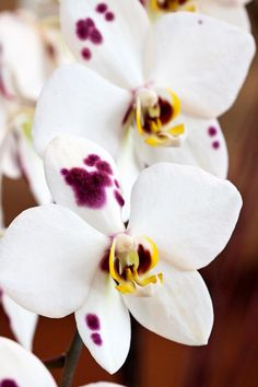 Harlequin phalaenopsis hybrid orchid by Tracy Walsh.