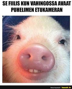 Funny pictures of the day - 39 pics funny pig pictures, taco pi Cute Funny Animals, Cute Baby Animals, Funny Cute, Farm Animals, Baby Pigs, Pet Pigs, Funny Pig Pictures, Taco Pictures, Funny Pigs