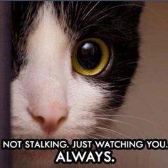 Stalker Kitty ! cat cats funny cute hellokitty