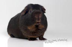 Lillyfoot Meerschweinchen Schoko-Gold-Loh