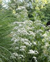 How to grow fragrant valerian (Valeriana officinalis) and use valerian root for dogs, cats and people