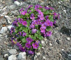 Primula juliae - Jūlijas prīmula