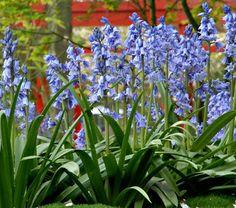 Hyacinthoides hispanica Excelsior - White Flower Farm